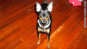 Ahimsa House cared for Sophie, a Miniature Doberman, while her owner sought housing after leaving her abusive husband.