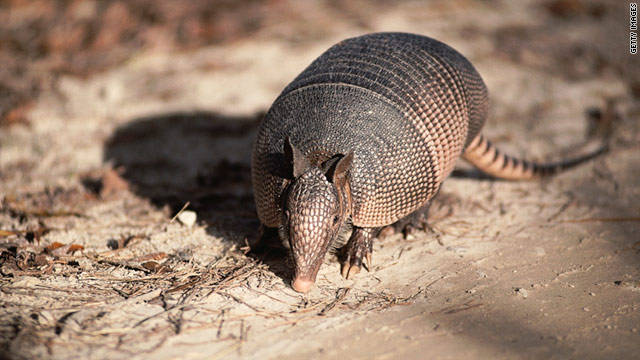 There have been several anecdotal reports of leprosy in humans who have handled, killed or eaten armadillos.