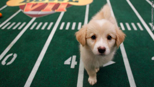 Aries is one of the puppies featured in Puppy Bowl VII.