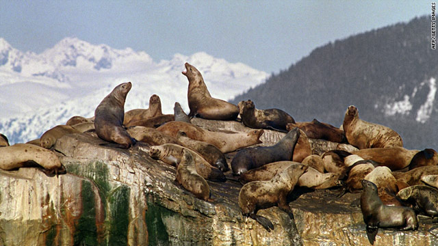 Sea lions sun themselves on oil polluted rocks in Prince Williams Sound soon after the Exxon Valdez ran aground March 24, 1989.
