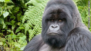A silverback mountain gorilla checks out visitors in Rwanda.