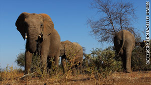 Elephants walk around and eat foliage at the Mashatu Game Reserve.