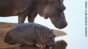 Hippopotamuses relax on a sand island in the Edeni Game Reserve in South Africa.