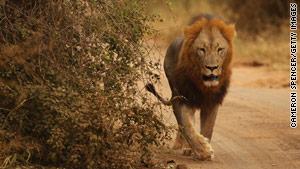 A lion roams in Kruger National Park, South Africa.