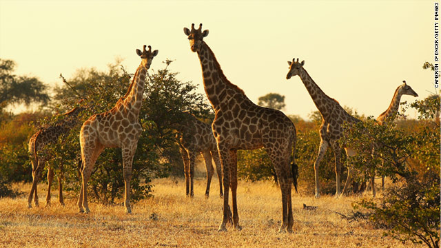 Giraffes graze at sunrise in the Mashatu Game Reserve in Botswana.