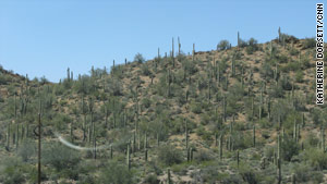 A look at saguaro cactuses near the highway.
