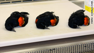 Red-winged blackbirds from Arkansas were studied at the University of Georgia.