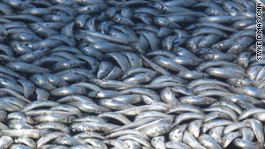 The sardines covered King Harbor Marina in Redondo Beach, California, last week.