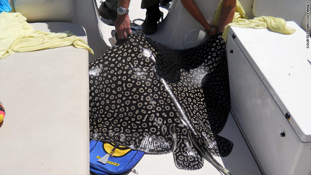 The eagle ray weighed about 300 pounds.