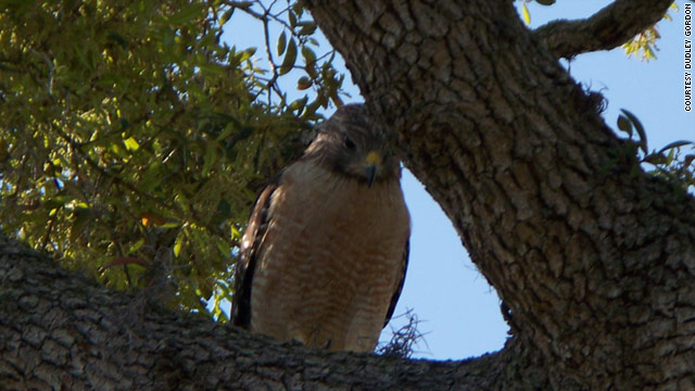 Retired Army Brig. Gen. Dud Gordon of Melbourne, Florida, shot this picture of a hawk that has attacked him three times.
