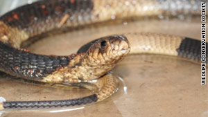 This Egyptian cobra captured the public's imagination during the five days it was out of its enclosure.