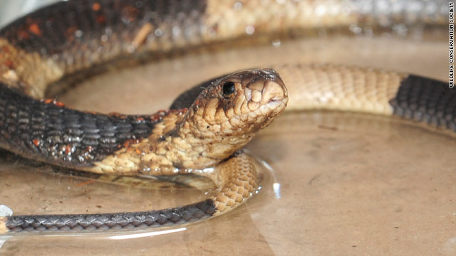 The Bronx Zoo will announce the winning name for the Egyptian cobra on Thursday.