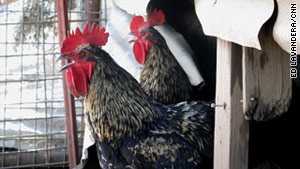 Roosters are left unscathed after a fire engulfs most of Lonnie Creswell's property near Graham, Texas.