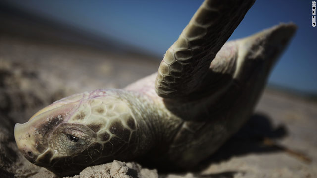 The recent deaths of turtles and dolphins along the Gulf coast puzzle scientists, raising questions about the oil spill.