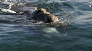 Boaters have been warned to be on the lookout for right whales around Cape Cod Bay.