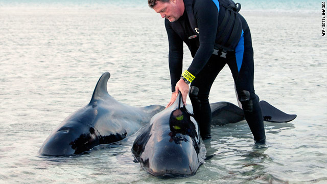 The Marine Mammal Conservancy's Art Coakley tends to two pilot whales Thursday in shallow waters near Cudjoe Key, Florida.