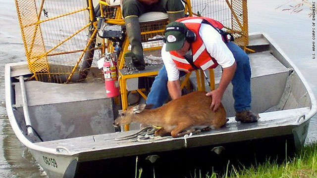 U.S. Army Corps of Engineers workers rescue a doe from the Bonnet Carre Spillway near Norco, Louisiana, on Tuesday.