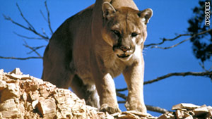 There is no native population of mountain lions in Connecticut.