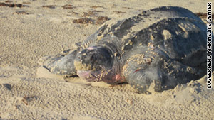 Clover, an endangered leatherback turtle, got her name from a family vacationing from Vermont.  Clover is Vermont's state flower.