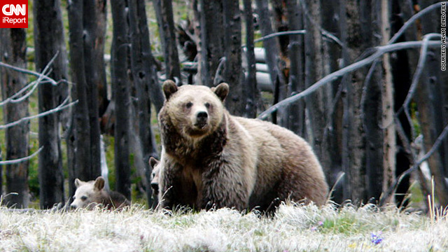 This is the first human death caused by a grizzly in Yellowstone since 1986, officials say. The photo above is from 2010.