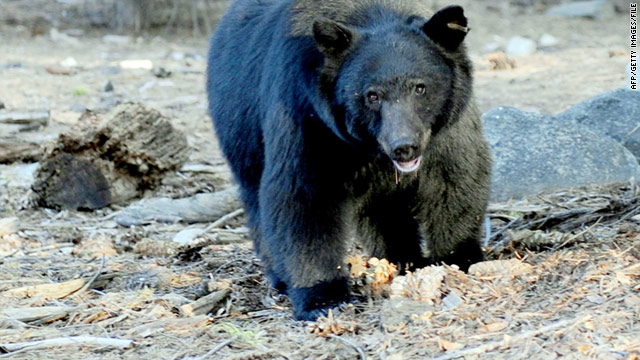 A Colorado parks official estimated that about 12,000 black bears live on the state's 23 million acres of public land.