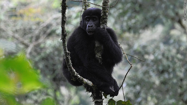 A new World Wildlife Fund survey reported a 26% increase in the population of endangered mountain gorillas in east Africa.