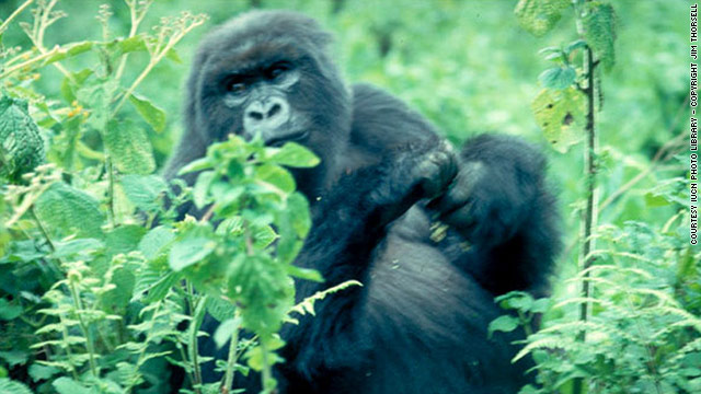 Rwanda's forests are home to primates including the endangered mountain gorilla.