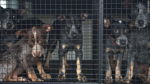 Puppies look out of a van as they are evacuated from the RSPCA shelter at Fairfield in Brisbane on January 12.