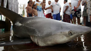 The Australian study devoted attention to the bull shark, an aggressive species responsible for many attacks on humans.