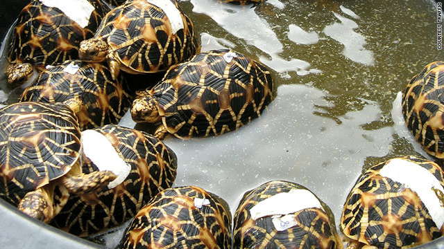 These Indian Star tortoises were seized from one man's luggage at a Bangkok airport which also hid spiders, snakes and lizards.