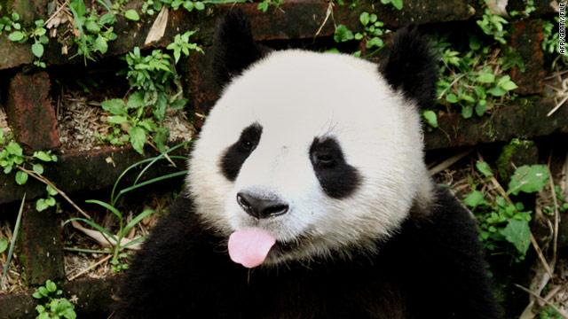 El panda más viejo del mundo muere en China