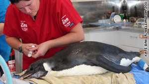 The penguin is shown during treatment at the Wellington Zoo for a belly full of sand.