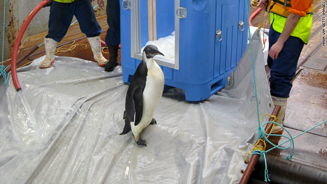 "The penguin, nicknamed ""Happy Feet,"" prepares to slide down a ramp off the research vessel that transported it home."
