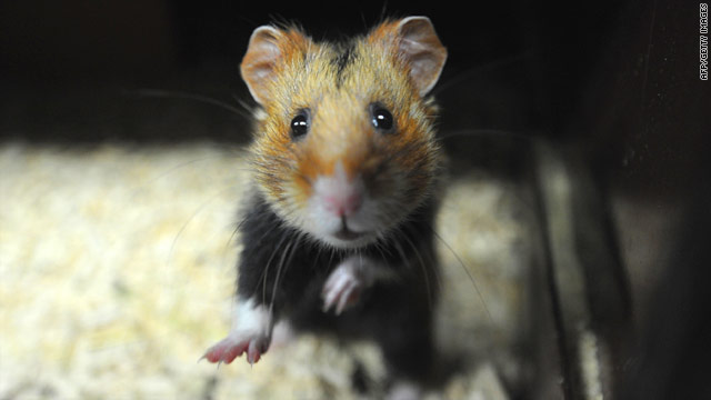 A Great Hamster of Alsace is pictured at a breeding center in eastern France dedicated to the reintroduction of the specimen.