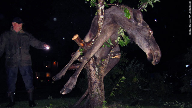 A moose got stuck in a tree after eating fermented apples in Saro, Sweden, Wednesday night.