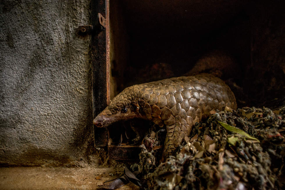 The most trafficked mammal you've never heard of -- CNN.com