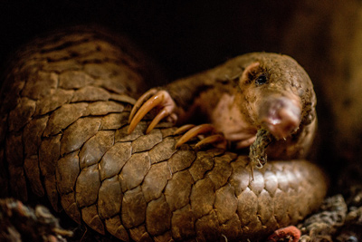 The most trafficked mammal you've never heard of -- CNN com