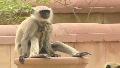 Delhi uses monkeys to combat monkeys