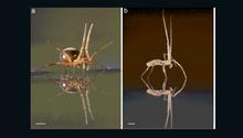 العلماء يكتشفون قدرات هائلة للعناكب.. أرضا وبحرا وجوا
