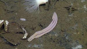 تعرفوا على أقدم أنواع الديدان يعيش بعمق المحيطات