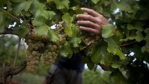 بين الكروم الحالمة وصفارات الإنذار..كيف يصنع النبيذ في الجولان؟