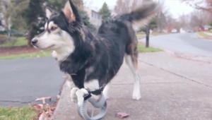 """صنع قدم ثلاثية الأبعاد لإعطاء الكلب """"دربي"""" القدرة على الركض"""