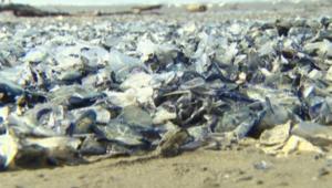 بالفيديو.. ملايين المخلوقات الغريبة على شواطئ غرب أمريكا