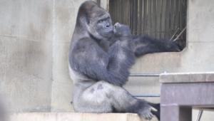 بالفيديو.. هذا هو القرد الذي سرق قلوب النساء في اليابان