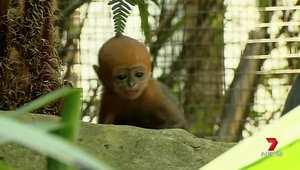 أستراليا.. شاهد ولادة القرد الأكثر ندرة في العالم