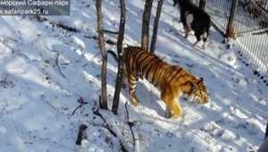 بالفيديو.. النمر الروسي