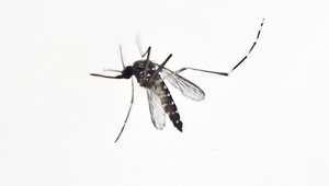 """أعراض ومخاطر """"فيروس زيكا"""" وعلاقته الوثيقة بـ """"الزاعجة المصرية"""" ومطالب السلطات بتجنب"""