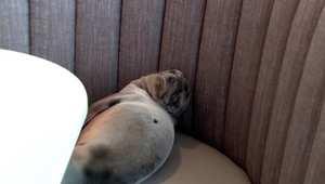 بالفيديو: أسد بحر يعاني سوء تغذية وجد في مطعم بسان دييغو