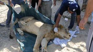 تجهيز أسد في حديقة حيوانات غزة لنقله إلى الأردن