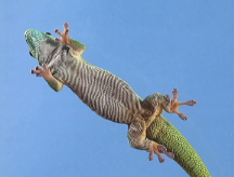 Geckos inspire a new bandage